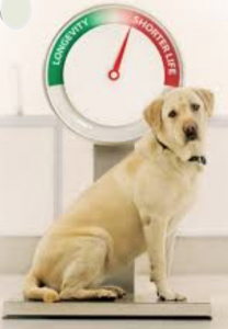 lifespan and obesity in dogs
